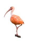Isolerad scharlakansröd ibis Arkivfoto