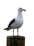 isolerad seagull Royaltyfri Fotografi