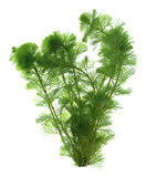 isolerad seaweed royaltyfri foto