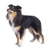 Isolerad Sheltie hund Arkivbilder