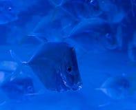 Isolerad simning för Lookdown fisk i en skola Royaltyfria Foton