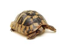 isolerad sköldpadda royaltyfri bild