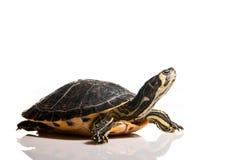 isolerad sköldpadda Arkivfoto