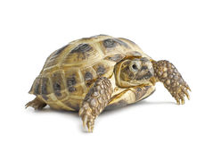 isolerad sköldpadda Royaltyfri Foto