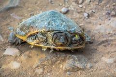 Isolerad sköldpadda Arkivbilder