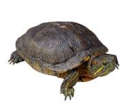 isolerad sköldpadda Fotografering för Bildbyråer