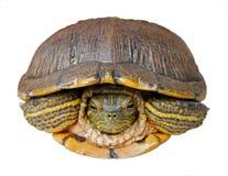 isolerad sköldpadda Royaltyfria Bilder