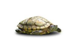 isolerad sköldpadda Royaltyfria Foton