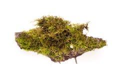 Isolerad skogmossa Royaltyfria Foton