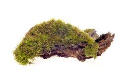 Isolerad skogmossa Royaltyfri Fotografi