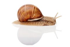 Isolerad Snail Arkivfoton