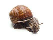 isolerad snail Arkivfoto