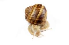 isolerad snail Royaltyfria Foton