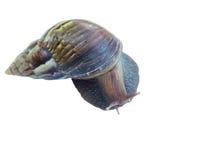 isolerad snail Arkivbild