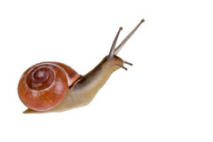 isolerad snail Arkivbilder