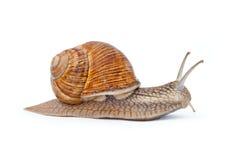 isolerad snailwhite Royaltyfria Foton