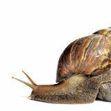 isolerad snailwhite Arkivfoton