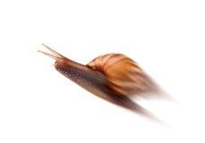 isolerad snailwhite för bakgrund trädgård Royaltyfri Fotografi