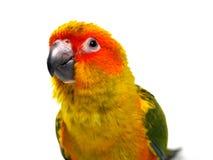 Isolerad solconurefågel Arkivbild
