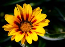 Isolerad solig blomma Royaltyfri Fotografi