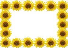 isolerad solros Arkivbilder