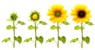 Isolerad solrosväxt arkivbild