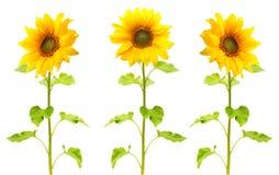 Isolerad solrosväxt arkivbilder