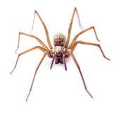 isolerad spindel Royaltyfri Bild