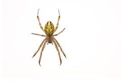 isolerad spindelwhite Royaltyfri Foto