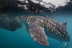 Isolerad stående för valhaj som är undervattens- i Papua Arkivfoton