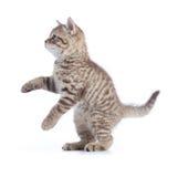 Isolerad stående sikt för kattungekattsida royaltyfri foto