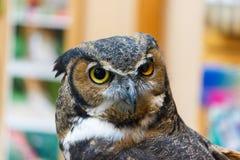 Isolerad stor Horned Owl Fotografering för Bildbyråer