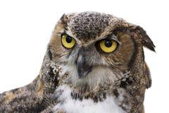 Isolerad stor Horned Owl arkivbilder