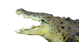Isolerad stor manlig krokodil Royaltyfri Fotografi