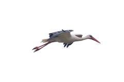 isolerad storkwhite Arkivfoto