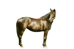isolerad svart häst Arkivbild