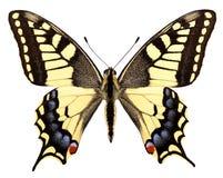 isolerad swallowtail arkivfoto