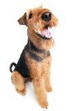 isolerad terrier för airedale hund Royaltyfri Fotografi