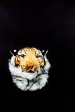 Isolerad tigerhuvudpåse Arkivfoton