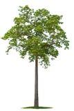 isolerad tree Arkivfoto