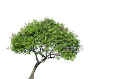 isolerad tree Arkivbild