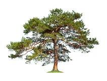 isolerad tree Royaltyfria Bilder