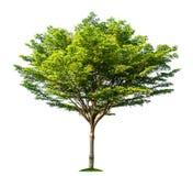 isolerad tree Royaltyfri Bild