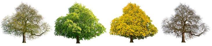 Isolerad treeuppsättning för fyra säsonger royaltyfri bild