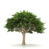 isolerad treewhite Fotografering för Bildbyråer