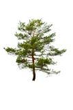 isolerad treewhite Royaltyfri Fotografi
