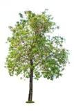 isolerad treewhite Arkivbilder