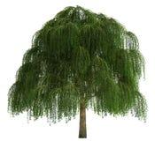 isolerad treewhite Royaltyfri Foto