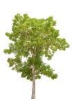 isolerad treewhite Arkivfoton