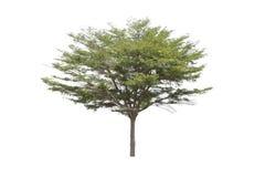 isolerad treewhite Arkivbild